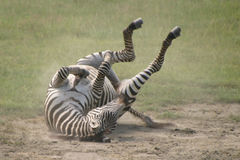 Fauna en Tanzania foto de archivo libre de regalías