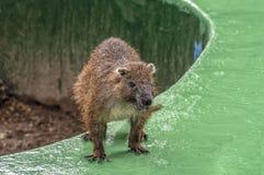 Fauna endêmico de Chuya do cubano, grande roedor da ordem de corrente-atado foto de stock