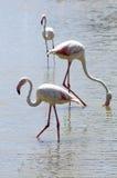 Fauna: Flamencos en Camargue Imagen de archivo