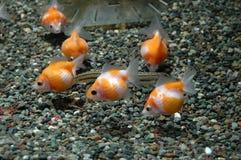 Fauna, Goldfish, Marine Biology, Fish royalty free stock photography
