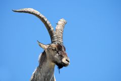 Fauna Gredos-Ávila-España Fotografía de archivo libre de regalías