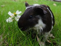 Fauna, Guinea Pig, Rodent, Grass Royalty Free Stock Photography