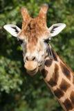 Fauna, jirafa masculina de A en un campo Imágenes de archivo libres de regalías