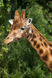 Fauna, jirafa masculina de A en un campo Fotos de archivo