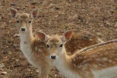 Fauna Royalty Free Stock Image