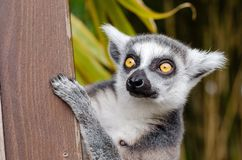 Fauna, Lemur, Wildlife, Whiskers Stock Images