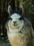 Fauna, Llama, Camel Like Mammal, Alpaca
