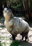 Fauna, Llama, Goats, Livestock