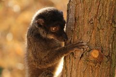 Fauna of Madagascar - a female of white-headed lemur Eulemur albifrons. The white-headed lemur Eulemur albifrons, also known as the white-headed brown lemur royalty free stock photos