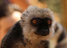 Fauna of Madagascar - portrait of a male of white-headed lemur Eulemur albifrons on a tree. The white-headed lemur Eulemur albifrons, also known as the white royalty free stock photo
