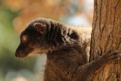 Fauna of Madagascar - a white-headed lemur Eulemur albifrons - a female. The white-headed lemur Eulemur albifrons, also known as the white-headed brown lemur royalty free stock photos