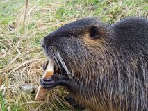 Fauna, Mammal, Beaver, Rodent
