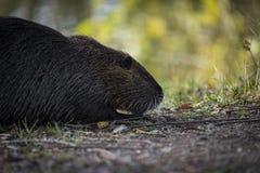 Fauna, Mammal, Beaver, Wildlife royalty free stock photos