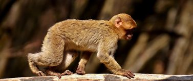 Fauna, Mammal, Macaque, Primate Royalty Free Stock Photography