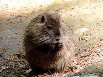 Fauna, Mammal, Muskrat, Rodent royalty free stock image