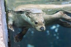 Fauna, Mammal, Otter, Mustelidae stock photos
