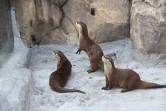 Fauna, Mammal, Otter, Mustelidae stock images