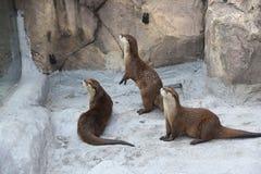 Fauna, Mammal, Otter, Mustelidae royalty free stock photos