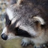 Fauna, Mammal, Raccoon, Wildlife stock image