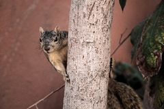 Fauna, Mammal, Squirrel, Fox Squirrel Royalty Free Stock Images