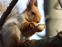 Fauna, Mammal, Squirrel, Rodent Stock Image
