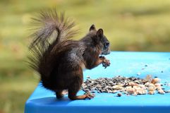 Fauna, Mammal, Squirrel, Rodent Stock Images