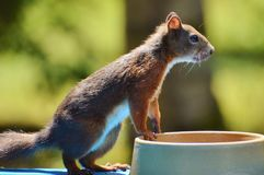 Fauna, Mammal, Squirrel, Rodent Stock Photography