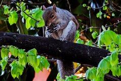 Fauna, Mammal, Squirrel, Wildlife royalty free stock photos