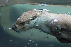 Fauna, Mammal, Water, Otter stock photography