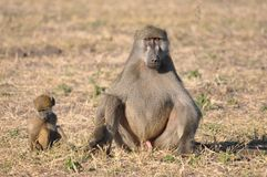 Fauna, Mammal, Wildlife, Baboon Stock Photos