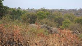 fauna Manada de elefantes salvajes africanos fotos de archivo