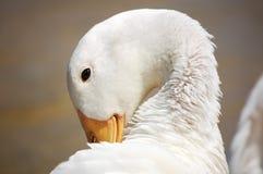 Fauna of Menorca. White duck timid attitude as if sad Stock Photos