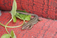 The fauna of the Moscow region - sand lizard, basking in the sun. Sand lizard, got out to bask in the sun Royalty Free Stock Photo