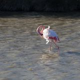 Flamingos in the ornithological park of the bridge of Gau near the pond of Gines with Saintes Maries of the Sea in Camargue in Bou. Fauna, natural, colorful royalty free stock photo