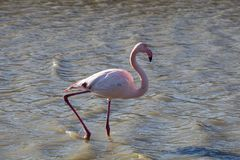 Flamingos in the ornithological park of the bridge of Gau near the pond of Gines with Saintes Maries of the Sea in Camargue in Bou. Fauna, natural, colorful royalty free stock images