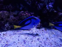 Blue surgeonfish in saltwater aquarium. Fauna and nature, acuatic animal and marine life Royalty Free Stock Photo