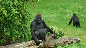 Fauna, Primate, Great Ape, Western Gorilla stock images