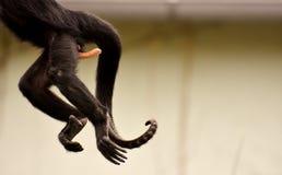 Fauna, Primate, Tail, Fur Stock Image