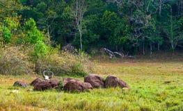 Fauna Sancturary de Periyar del parque nacional de la selva tropical Gaur (Indi Fotos de archivo