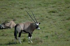 Fauna selvatica africana Immagine Stock
