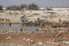 Fauna selvatica al waterhole immagine stock