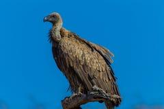 Fauna selvatica animale appollaiata avvoltoio di appoggio bianca dell'uccello Immagini Stock