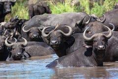Fauna selvatica animale grandi cinque del foro di acqua del gregge della Buffalo Immagini Stock