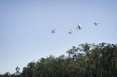 Fauna selvatica in Australia Fotografie Stock Libere da Diritti