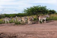 Fauna selvatica degli animali del ` s del vitello della zebra Fotografia Stock