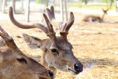 Fauna selvatica dei cervi Fotografia Stock Libera da Diritti