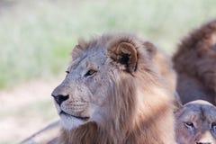 Fauna selvatica dei leoni Fotografia Stock