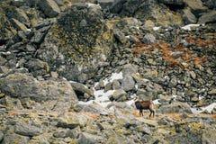 Fauna selvatica del camoscio in montagne Alti tatras Fotografie Stock