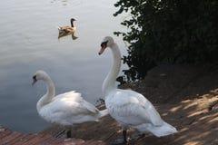 Fauna selvatica del lago Fotografie Stock