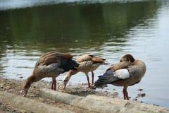 Fauna selvatica del lago Fotografia Stock Libera da Diritti